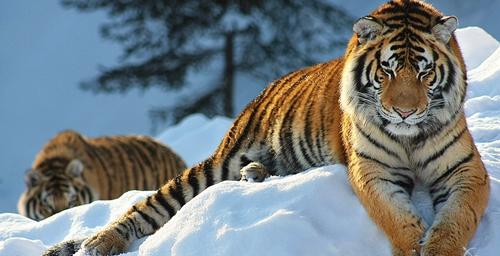 最大的虎 重达350公斤的东北虎