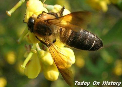 世界上最大的蜜蜂 体长17~18mm的工蜂