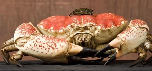 世界最大的螃蟹 体长3.4米甘氏巨鳌蟹