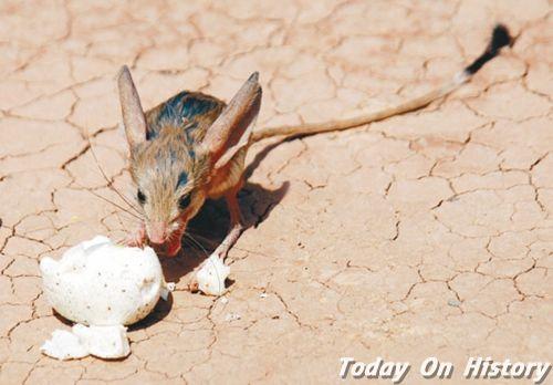 世界最奇特的鼠类之 耳朵比头部大三倍的长耳跳鼠