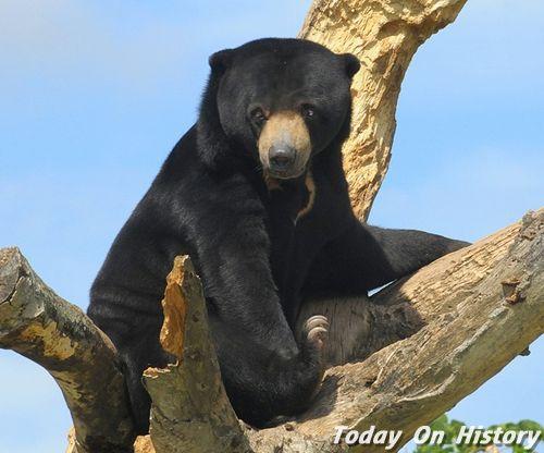 世界体型最小的熊 小不点马来熊