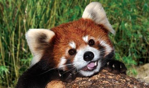 世界上最为迷你的熊类 娇小可爱的浣熊