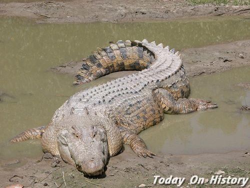 世界上最长的鳄鱼 身长达10米的湾鳄