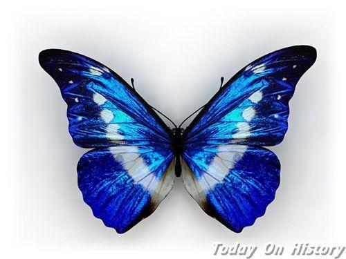 世界最贵的蝴蝶 美丽而稀少的光明女神蝶