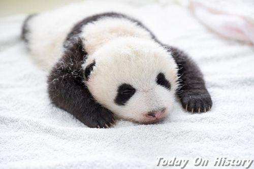 世界上最小的熊猫 体重仅有51克的熊猫宝宝