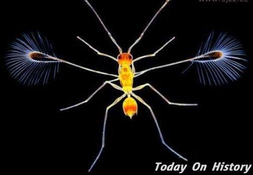 世界上最小的昆虫 重量只有0.005毫克的毛翼
