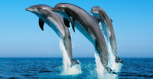 """世界智商最高的动物 """"非人类的人""""海豚"""