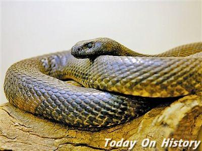 一滴毒液能毒死170个人的陆上最毒毒蛇